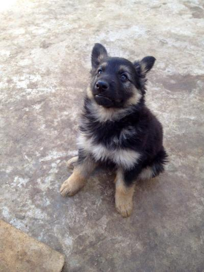 Vente Chiot ( Berger Allemand)